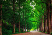 Meta sequoia Road — Stock Photo