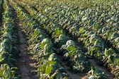 Napa cabbage farm — Stock Photo