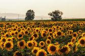 Slunečnice farma — Stock fotografie