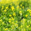 Canola flowers in a field — Stock Photo #71284653