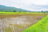 Red rice field — Stock Photo