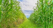 Image of corn field and sky in background — Stock Photo