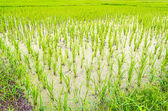 Paddy rice in field — Stock Photo