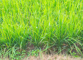 Image of rice field — Stock Photo