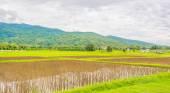 Červená rýže pole — Stock fotografie