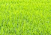 Obrázek pole rýže — Stock fotografie
