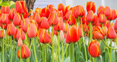Flower bed of multicolor tulips on day time. — Stock Photo