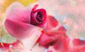 Röd ros på vit bakgrund, alla hjärtans dag bakgrund — Stockfoto