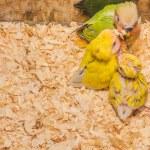Baby yellow lovebird — Stock Photo #64286237