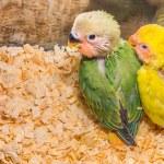 Baby yellow lovebird — Stock Photo #64286277