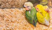 Baby yellow lovebird — Zdjęcie stockowe