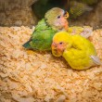 Baby yellow lovebird — Stock Photo #65512815