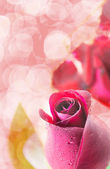 Red rose on white background, Valentines Day background — Stok fotoğraf