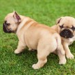 Little French bulldog puppies — Stock Photo #67825267