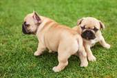Little French bulldog puppies — Stock Photo