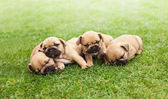 Little sleeping French bulldog puppies — Stock Photo