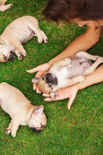 Little sleeping French bulldog puppie — Stock Photo