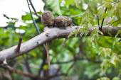 TwoPygmy marmosets closeup — Stock Photo