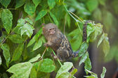 Pygmy marmoset closeup — Stock Photo