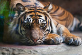 Tiger, portrait of a bengal tiger — Stock Photo