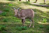 Female Siberian mountain goat — Stock Photo