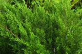 Spruce branch — Stock Photo