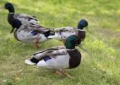 Walking ducks on the green grass. — Stock Photo