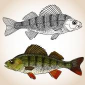 Freshwater perch fish — Stock Vector