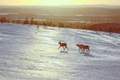 Reindeers in Finland — Stock Photo