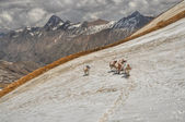 Mules in Himalayas — Stock Photo