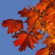 Maple leaves in autumn — Stock Video #69587693