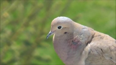 Mourning dove close up — Stock Video