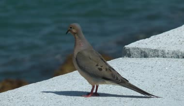 Mourning Dove on seawall — Stock Video