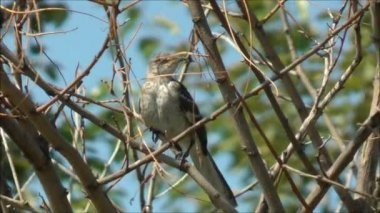 Mockingbird Perched On Branch — Stock Video