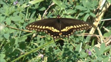 Swallowtail butterfly on the flower — Stock Video