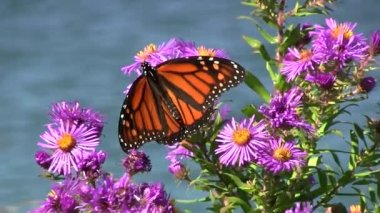Monarch butterfly on a purple plant. — Stock Video