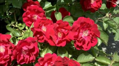 Blooming Red Roses — Stock Video
