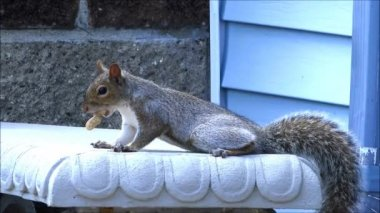 Squirrel runs off with peanut — Stock Video