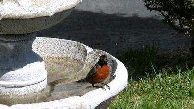 Robin songbird takes a dip — Stock Video