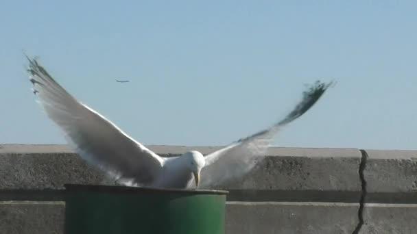 Seagull searches barrel — Vídeo de stock