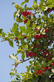 Beautiful Holly Tree near the Cathedral of St Matthias in Budapest — Zdjęcie stockowe