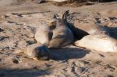Elephant seals on the big sur in California USA — Stock Photo