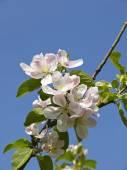 Apple Blossom in Lancashire England — Stock Photo