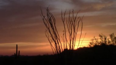 Ocotillo Tree sunset in the Superstition Mountains, Arizona — Stock Video