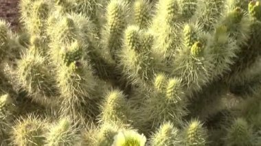 Cholla Cactus Bloom zoom out and Saguaro Cacti — Stock Video