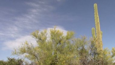 Palo Verde Tree and Saguaro Cactus in the Superstition Mountains, Arizona — Stockvideo