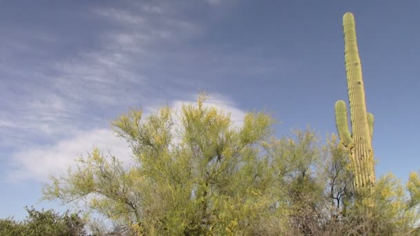 Palo Verde Tree and Saguaro Cactus in the Superstition Mountains, Arizona — Vidéo