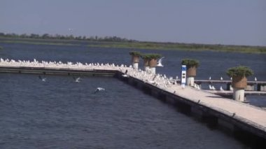 Seagulls on a pontoon — Stock Video