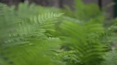 Fern leaves in the wind — Stock Video