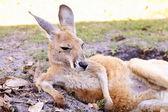 Känguru auf der grünen Wiese ruht — Stockfoto